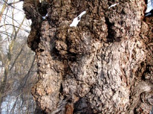 The natural burls in a tree create exceptionally striking effects when cut into veneers, but they don't appear in solid wood cuts.