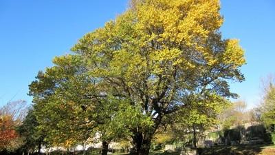 autumnal ash tree